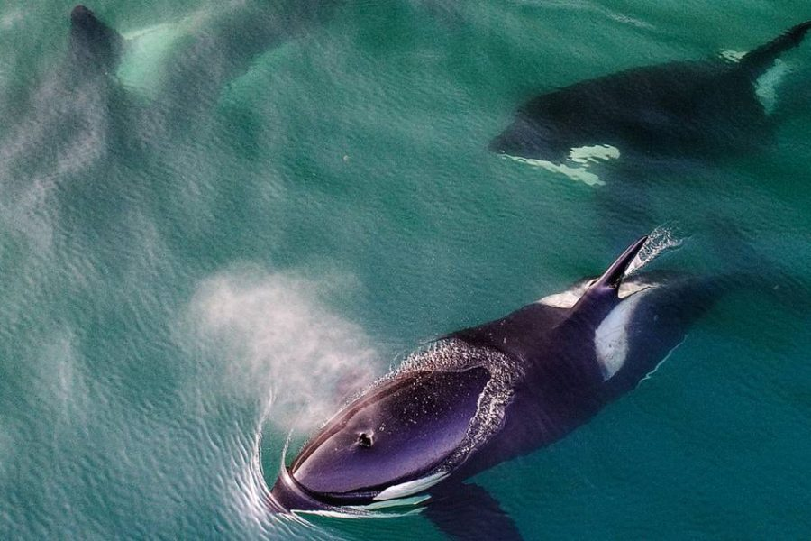 En Russie des orques captives ont retrouvé leur liberté et se réadaptent avec succès